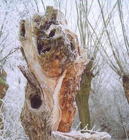 Palivové dříví zdarma ořezem hlavových vrb