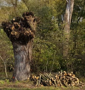 Ořez vrb hlavatých na pravém břehu Vojkovického náhonu