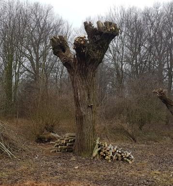 Ořez vrb vedle Vojkovického náhonu vletošním roce pokračuje