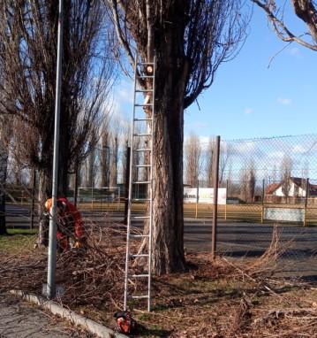 Údržba topolů u fotbalového hřiště